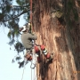 Élagage arbre Séquoia