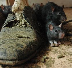 Dératisez votre intérieur des rats et des souris avec l'aide d'un expert à Paris