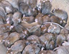 Dératisation et extermination des rats et souris en Ile de France, Nuisible.net