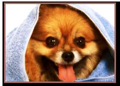 Toilettage de chiens pour concours Au Chien Beauté à Bordeaux