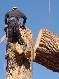 Technique coupe élagage arbre mort penché à Lyon