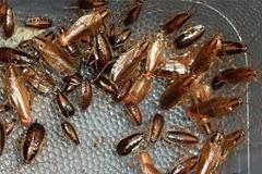 Désinsectisation, interventions anti cafards et blattes en Ile de France
